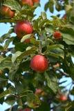 Jabłka na drzewie Obraz Stock
