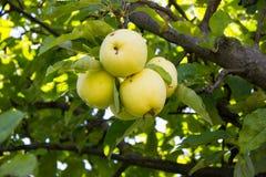 Jabłka na drzewie Fotografia Royalty Free