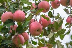 Jabłka na drzewie Obraz Royalty Free