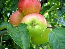 Jabłka na drzewie Obrazy Stock