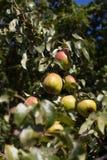 jabłka organiczne Zdjęcie Royalty Free