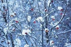jabłka snow drzewo obrazy royalty free