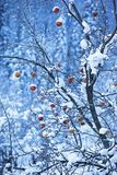 jabłka snow drzewo Zdjęcie Royalty Free