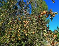 Jabłka w pustyni Zdjęcie Royalty Free