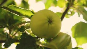 jab?ka zieleniej? drzewa Zako?czenie piękni jabłka dojrzewają na gałąź w promieniach słońce Rolniczy biznes zbiory