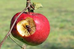 jabłko je szerszenia Zdjęcia Stock