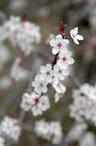 jabłko kwiaty Zdjęcia Stock