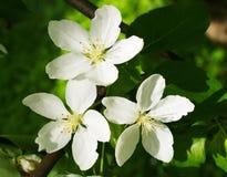 jabłko kwitnie drzewa fotografia royalty free