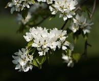 jabłko kwitnie drzewa Obraz Stock