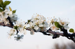 jabłko kwitnie drzewa zdjęcie stock