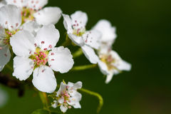 jabłko kwitnie drzewnego biel Fotografia Royalty Free