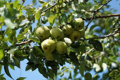 jabłko organiczne Obrazy Royalty Free