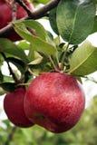 jabłko spadek Fotografia Stock