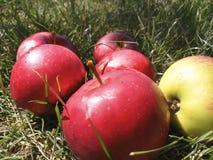 Jabłko trawa Obraz Stock