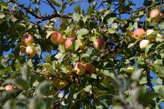 jabłko trzy Obraz Stock