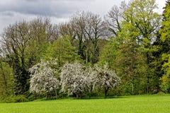 Jabłonie w kwiacie przy lasem Fotografia Stock