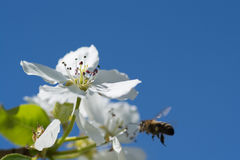Jabłoniowi kwiaty Zdjęcia Royalty Free