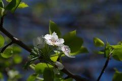 Jabłoniowi kwiaty Zdjęcia Stock