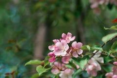 Jabłoniowi kwiaty Fotografia Stock