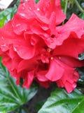 Chinese hibiscus flower stock photo