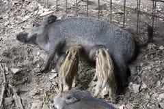 Jabalí del cochinillo con la madre Foto de archivo