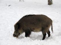 Jabalí en bosque del invierno Foto de archivo libre de regalías