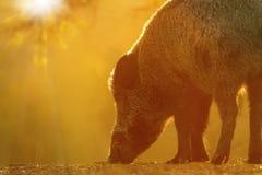 Jabalí que forrajea para la comida en el amanecer Foto de archivo