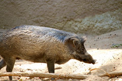 Jabalí salvaje del cerdo (scrofa del Sus) Imagen de archivo