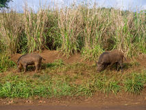 Jabalíes en las altiplanicies en la isla hawaiana de Kauai Foto de archivo