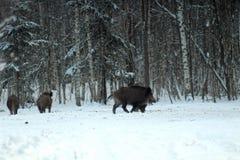Jabalís que alimentan en un claro del bosque y que observan el ambiente durante la estación fría imagen de los animales de caza e imágenes de archivo libres de regalías