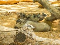 Jabalies faisant une sieste dans le zoo de Vigo image libre de droits