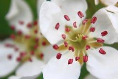 Jabłczany kwiatu szczegół Zdjęcie Stock