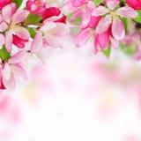 jabłczany tło kwitnie miękką wiosna Fotografia Stock