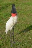 Jabiru鹳在潘塔纳尔湿地 库存图片