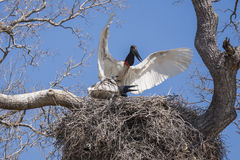 Jabiru鹳,保护在巢的小鸡的翼传播 库存图片