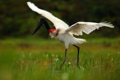 Jabiru, Jabiru mycteria,黑白鸟在与花,开放翼,野生动物在自然栖所,气喘的绿色水中 库存照片