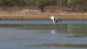 Jabiru хлопает свои крылья и скачки на billabong видеоматериал