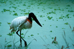 Jabiru Royalty Free Stock Images