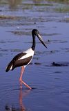 Jabiru. Hunts in grasslands bordering wetlands royalty free stock photography