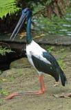 Jabiru Bird Stock Photos