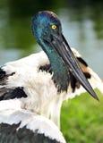 Jabiru or black headed stork, australia Royalty Free Stock Photography