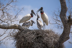 Jabiru Chicks Begging for food from Adults in Nest. Juvenile Jabiru Stork chicks begging for food from adult parent storks in nest in tree with blue sky and stock images