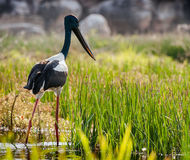 Jabiru fågel vid Yellowet River Australien nordligt territorium royaltyfria bilder