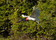 Jabiru flying Royalty Free Stock Image
