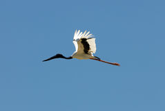 Jabiru Flying Royalty Free Stock Images