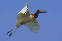 Jabiru, Jabiru mycteria, flying white bird with blue sky, Pantanal, Brazil Stock Photos