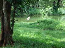 Jabiru. A large Central and South American stork with a black neck, mainly white plumage, and a large black upturned bill Stock Image