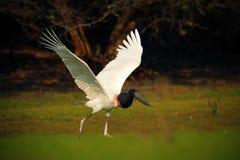 Jabiru, mycteria de Jabiru, blanco y negro en el pájaro de agua verde, animal en el hábitat de la naturaleza, Pantanal, el Brasil Fotografía de archivo
