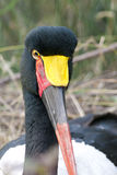 Jabiru or Saddle Billed Stork Royalty Free Stock Image