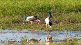 Jabiru som matar i guling, bevattnar den Kakadu nationalparken Fotografering för Bildbyråer